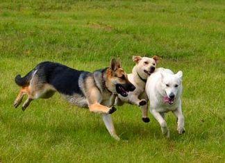 Celo en perras