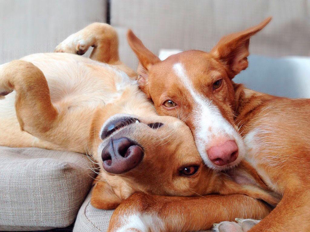 El celo en perras dura entre 15 y 25 días
