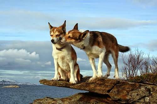 Comportamiento durante del celo en las perras