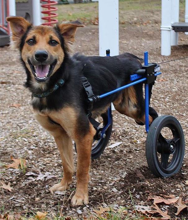 leo el perro parapléjico en su silla de ruedas