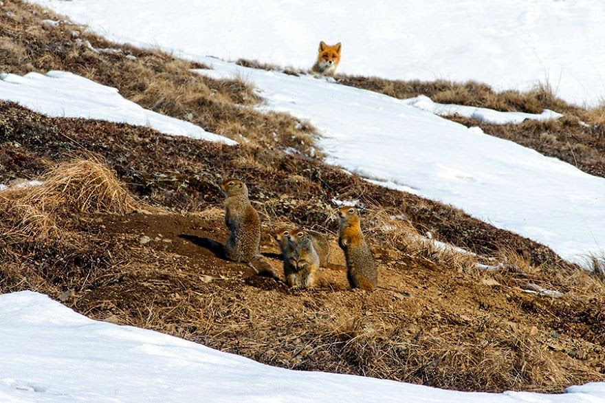 Foto-zorro-circulo-polar