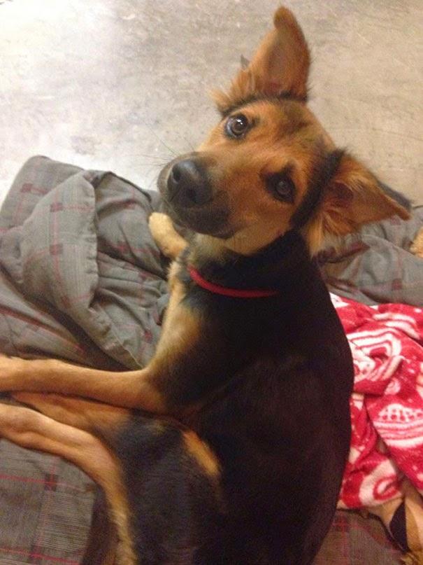 leo el perro parapléjico necesitaba un hogar