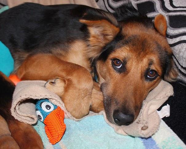 cachorro parapléjico