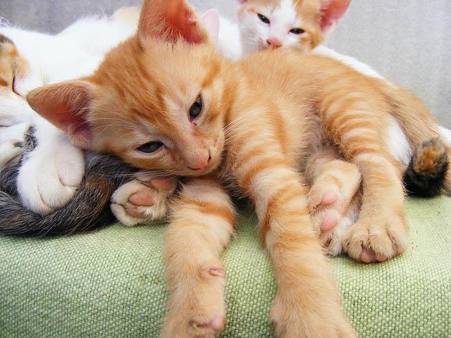 Desparasitación y vacunación en gatos