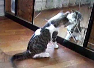 Gatos-frente-a-espejos-notasdemascotas