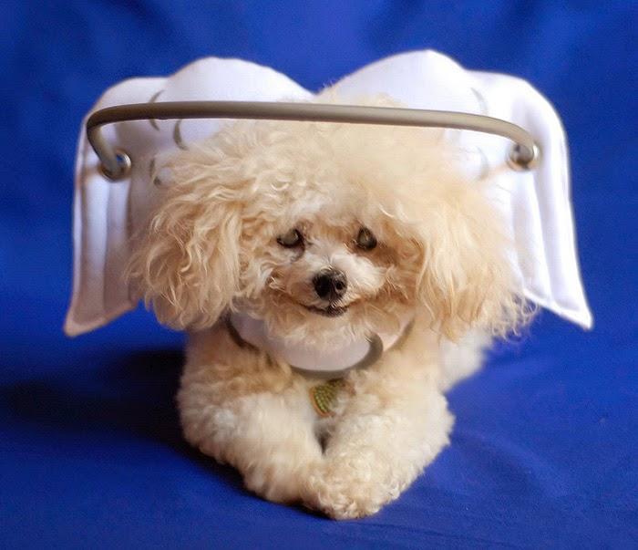 Este halo angelical protege a los perros ciegos de chocar con las cosas