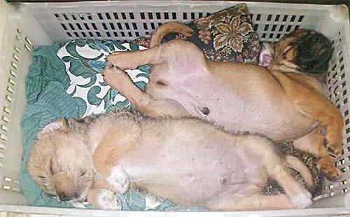 Cuidar cachorros recién nacidos con o sin madre