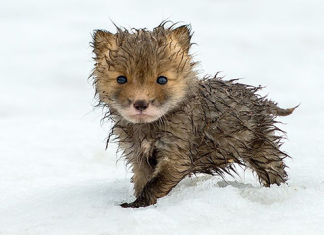 zorros en el Círculo Polar Ártico son fotografiados por un minero ruso
