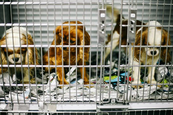 cavalier-king-charles-cocker-spaniel-rescatados-notasdemascotas-mascotas