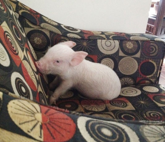 Esther MiniPig adoptada