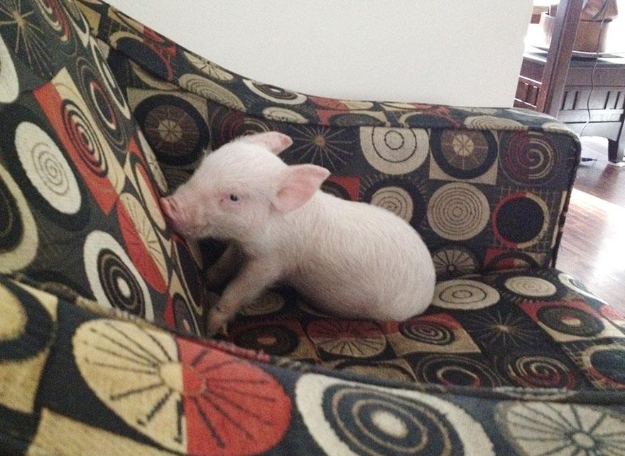 Esther-MiniPig-adoptada-notasdemascotas.com-1