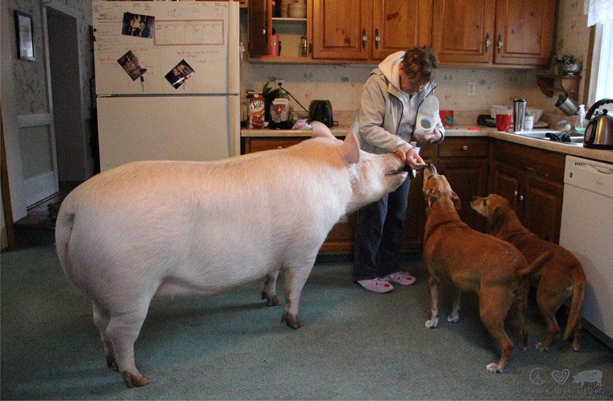 Esther-MiniPig-adoptada-notasdemascotas.com-7