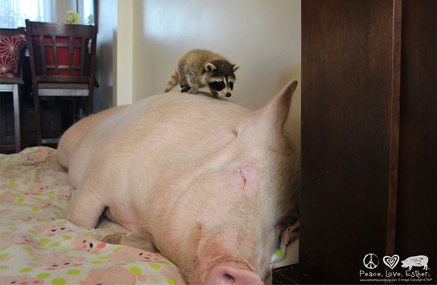 Esther-MiniPig-adoptada-notasdemascotas.com-8