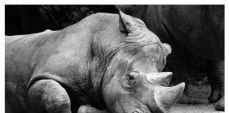 Aumentó la caza de rinocerontes