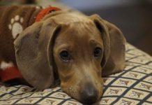 Torsión gástrica canina