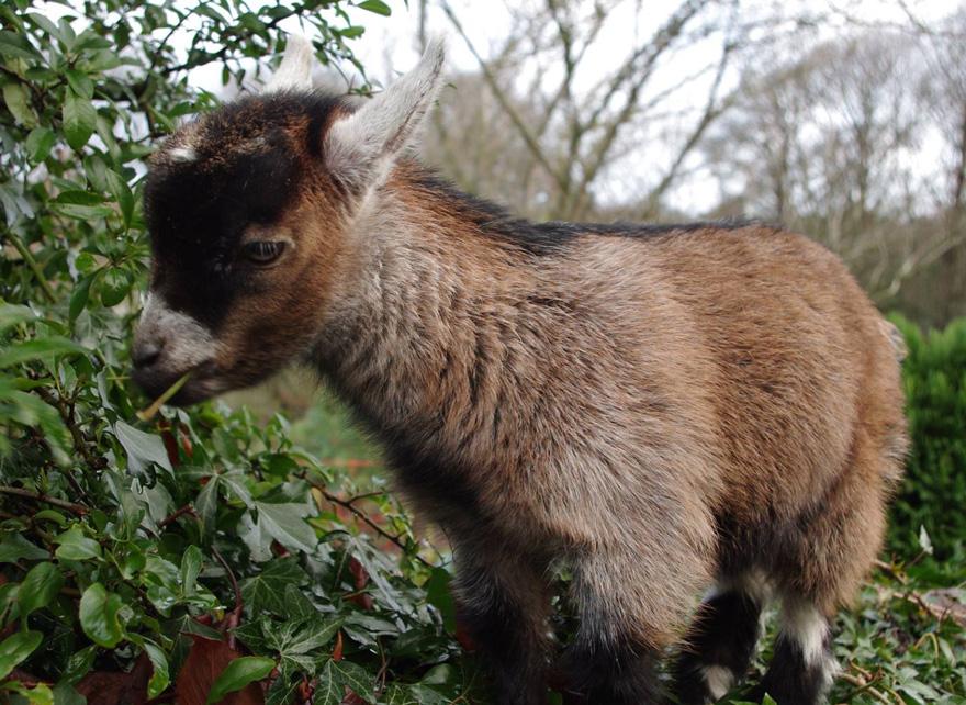 cabra-comiendo