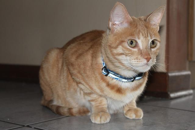 Gato con collar y cascabel