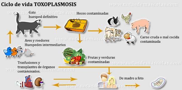 ciclo-de-vida-toxoplasmosis