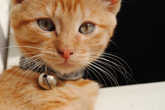 Uso de collar y cascabel en gatos