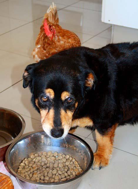 Alimentación en perros