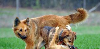 tos-de-las-perreras-o-gripe-del-perro