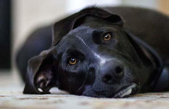 gripe-del-perro
