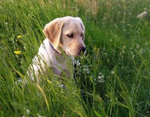 Labrador-parvovirus
