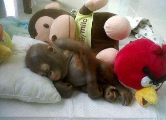 Rescate-de-orangután-bebé-que-vivió-10-meses-de-torturas