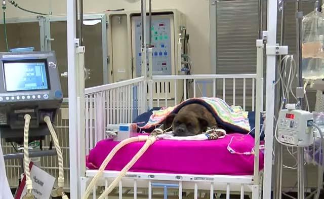 Carmen la perra que intentó salvar a su amo de un incendio, ahora lucha por su propia vida