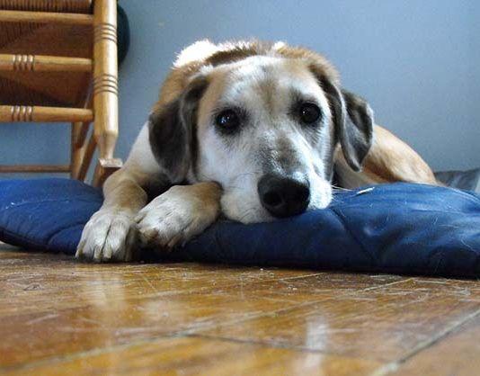 leishmaniosis-en-perros