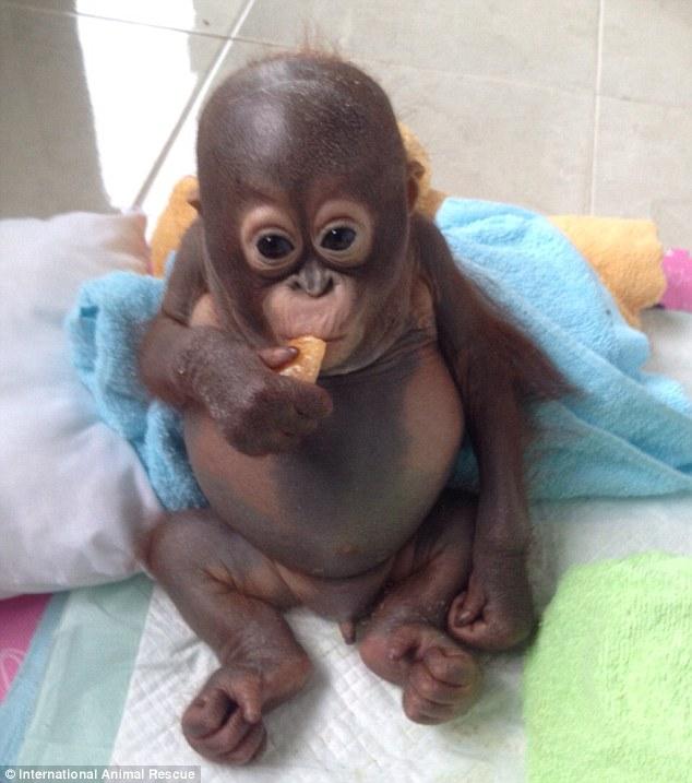 orangutan-comiendo-fruta