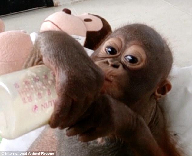 orangutan-tomando-leche