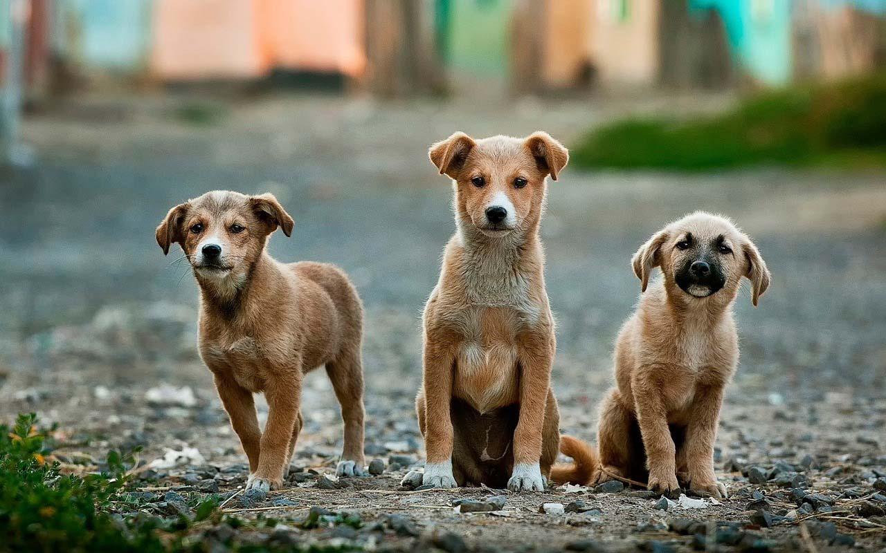 Parvovirosis en perros cachorros