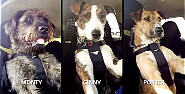 Perros que conducen por una buena causa, ser adoptados