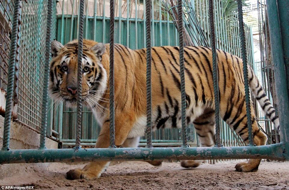 tigre-vivo