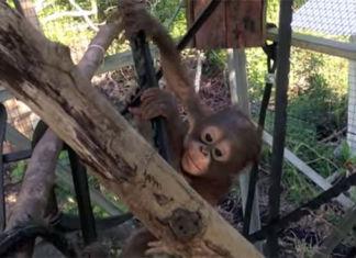 budi-el-orangután