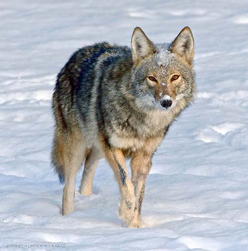 coyote-roba-juguete-1