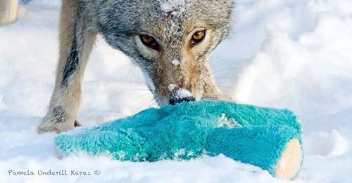 coyote-roba-juguete-2