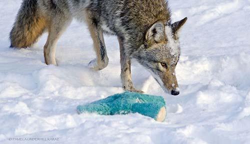 coyote-roba-juguete-3