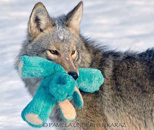 coyote-roba-juguete-4