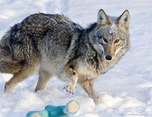 coyote-roba-juguete-5