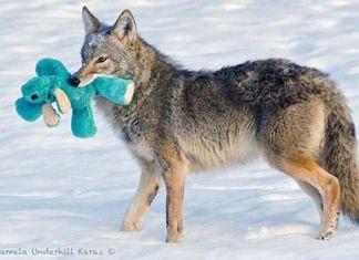 """El coyote que """"toma prestado"""" juguetes a los perros"""