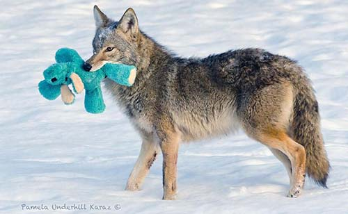 El coyote que