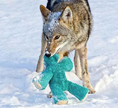 coyote-roba-juguete-7