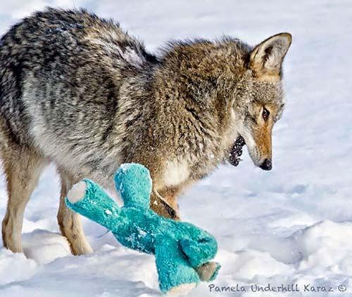 coyote-roba-juguete-8