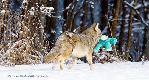 coyote-roba-juguete-9