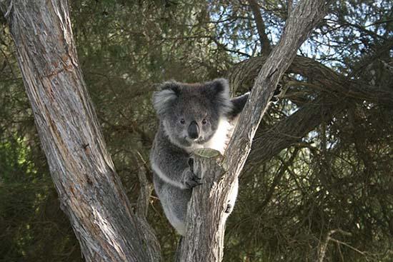 Sacrificaron cerca de 700 koalas en Australia