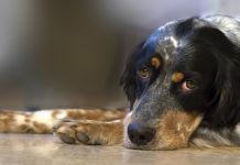 leptospirosis-perros