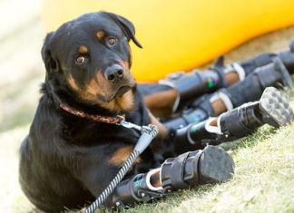 Brutus, el perro con prótesis en sus cuatro patas
