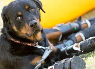 Brutus perro con prótesis en sus cuatro patas